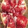 泰山红石榴苗、突尼斯软籽石榴苗 大红袍石榴苗 大青皮石榴苗