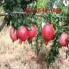批发3公分泰山红石榴苗、突尼斯软籽石榴树苗、大青皮石榴苗