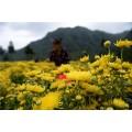 齐齐哈尔药用菊花,小阳菊,祁白菊种类