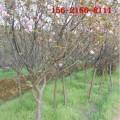 批发7公分8公分樱花树 9公分樱花 10公分、12公分樱花树