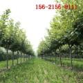 批发8公分樱花树 9公分10公分樱花 11公分12公分樱花树