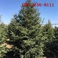 大量供应云杉树 1.5米云杉 2米、3米云杉 3.5米云杉树