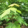直销6公分7公分8公分美国红点红枫 9公分10公分美国红枫树