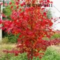 批发1公分-10公分美国红枫 11公分 12公分美国红点红枫