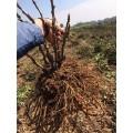 观赏牡丹苗 牡丹种苗多少钱一棵?
