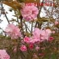 基地直销8公分樱花树 9公分10公分樱花 12公分樱花树苗