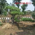 供应1米造型黑松、1.5米造型油松 2米、3米、4米造型黑松