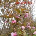 大量批发6公分/7公分樱花 8公分樱花 9公分10公分樱花树