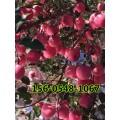直销矮化苹果苗基地-烟富8苹果苗 红肉苹果苗