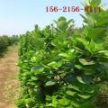 北海道黄杨\2米高北海道黄杨、3米、3.5米、4米北海道黄杨