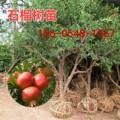 山东甜石榴树苗价格-突尼斯软籽石榴树苗多少钱一棵