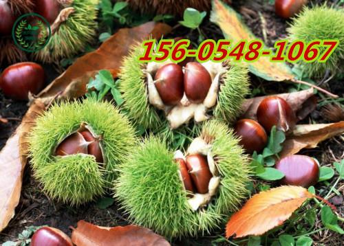 山东板栗树苗价格- 1-3公分丰产泰山板栗规格齐全