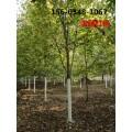 供应优质红枫报价11公分12公分红枫树苗价格多少