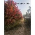 供应14公分红枫树苗、12公分15公分红枫树苗价格