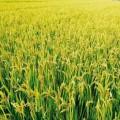 單季稻種植