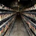 湖南海蘭灰蛋雞價格