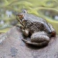 青蛙种苗供应