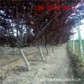 紫叶李树价格、4公分5公分6公分紫叶李 7公分8公分紫叶李树0