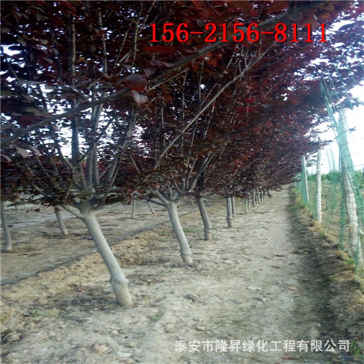 现货直销9公分紫叶李树、10公分 11公分12公分紫叶李树苗