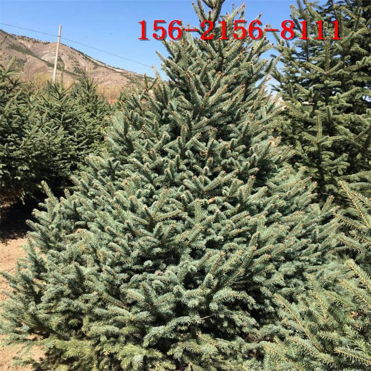 基地供应2米云杉 3米4米云杉 4.5米 5米云杉 6米云杉