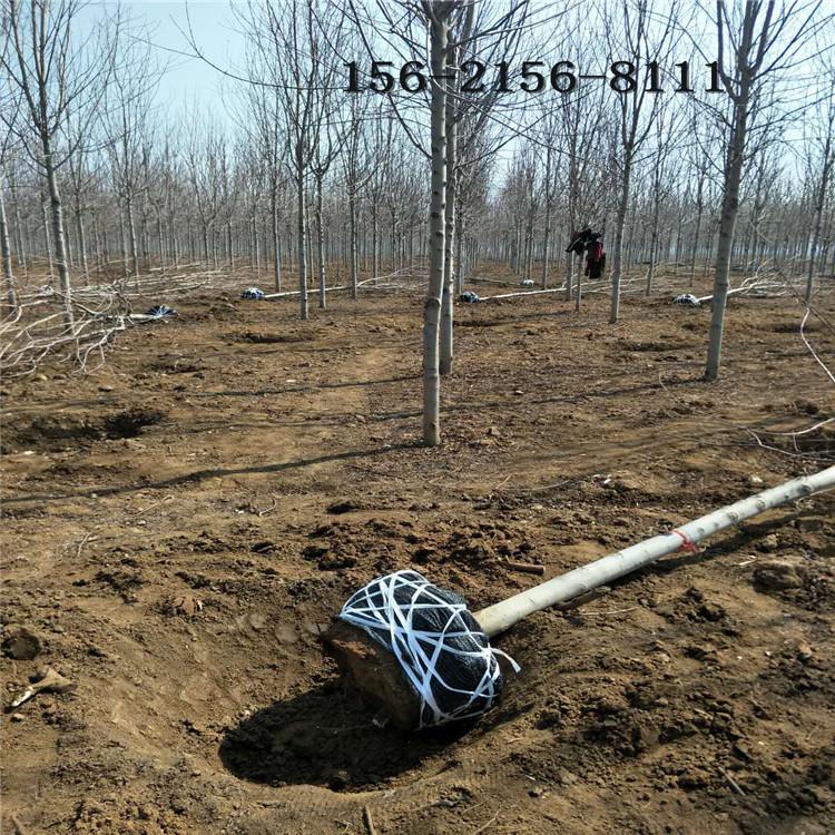美国红枫树、1-10公分红点红枫 12公分 15公分美国红枫