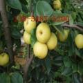 供应7公分-8公分-9公分梨树苗基地直销规格齐全