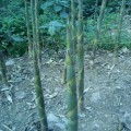 老谭干烟竹笋种植基地