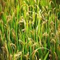 哪里有雙季稻種植基地