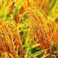 湖南單季稻批發