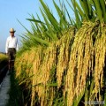 湖南雙季稻種植基地