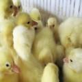 纯种鹅苗养殖注意事项