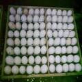 泰州商品鹅蛋出售