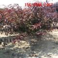 红叶碧桃=4公分5公分6公分 7公分、8公分9公分红叶碧桃
