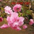 樱花树/6公分、8公分染井吉野樱花,普贤象樱花,阳光樱