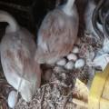 大庆鹅种蛋价格