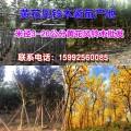 廣東3公分黃花風鈴木哪里有普寧黃花風鈴木袋苗產地直銷