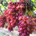 山東葡萄樹苗基地、葡萄樹苗價格、葡萄樹苗基地直銷0