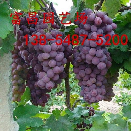 山東當年結果葡萄樹苗、盆栽葡萄樹苗報價多少錢一棵