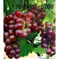 出售1公分2公分3公分4公分優質葡萄樹苗基地0