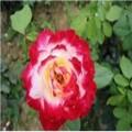 云南玫瑰种苗基地直供