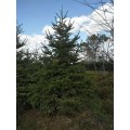 遼寧苗圃直銷冷杉樹 1-8米高 冷杉樹 常年批發