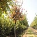 云南元寶楓茶葉種子