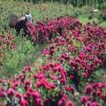 昆明食用玫瑰基地