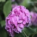 昆明绣球花种类