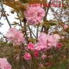 哪里有高杆樱花、1-9公分樱花树苗、10公分 12公分高杆樱花
