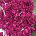 花卉康乃馨品种