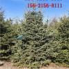 直销1米云杉 2米云杉 2.5米、3米云杉 3.5米、4米云杉树