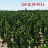 优质1.5米北海道黄杨 2米北海道黄杨\3米 4米北海道黄杨苗
