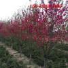 供应1-9公分红叶碧桃苗 10公分11公分 12公分红叶碧桃树