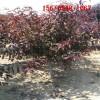 出售4公分5公分6公分红叶碧桃、7公分8公分红叶碧桃树苗
